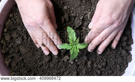 Growing Marijuana From Scratch At Home, Planting A Small Cannabis Sprout In A Container With Soil An