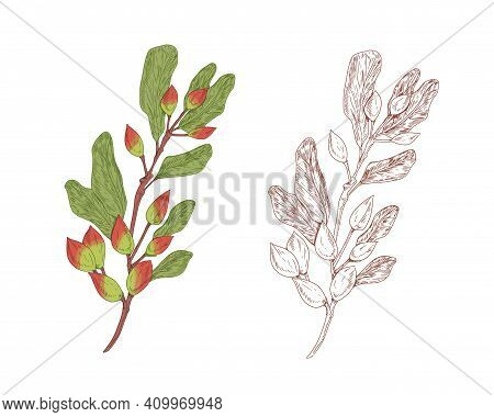 Colored Pistachio Branch And Outlined Sketch Of Pistache Plant. Contoured Botanical Elements With Ra