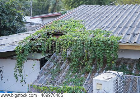 Image Of A House Building And On The Roof Covered By Ivy Creepers Plants, Long Green Creepers. Chian