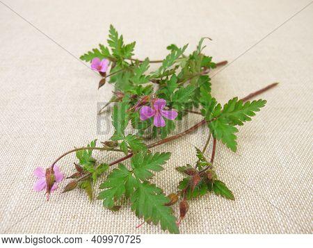 Flowering Roberts Geranium, Cranesbill, Geranium Robertianum, On A Wooden Board