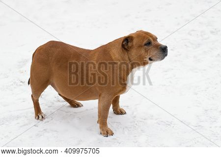 Overweight Dog With Pathlogical Spinal Curves Standing On The Snowy Pavement