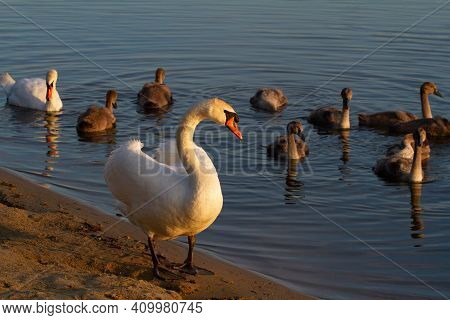 Mute Swan, Cygnus Olor. In The Early Morning, A Swan Family Swam To The Shore, The Male Went Ashore