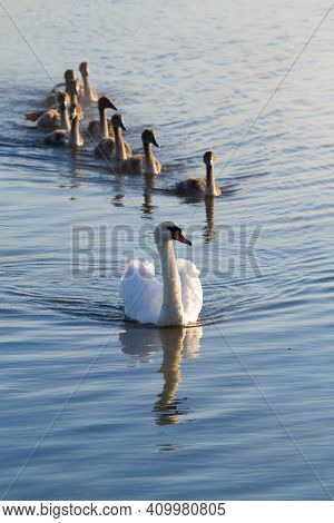 Mute Swan, Cygnus Olor. In The Early Morning, An Adult Bird With Its Chicks Swims Along The River