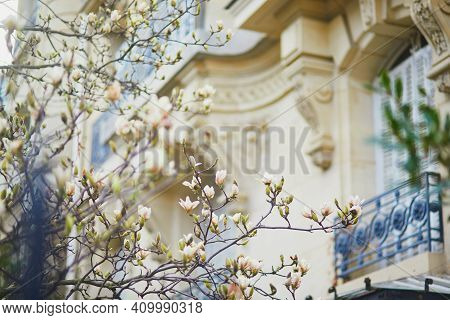 White Magnolia In Full Bloom On A Parisian Street On A Spring Day. Beginning Of Spring In Paris, Fra