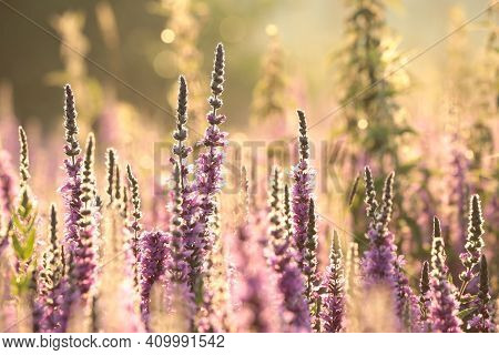 Loosestrife flower Nature sunset flower Nature flower Nature background garden flower Nature background Nature flower meadow flower Nature background flower Nature background flower Nature background flower Nature flower wildflowers Nature background.