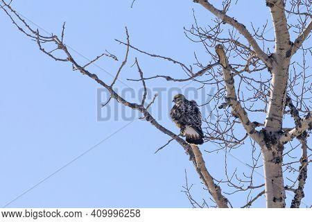 The Rough-legged Buzzard Or Rough-legged Hawk (buteo Lagopus). The North American Bird During Migrat