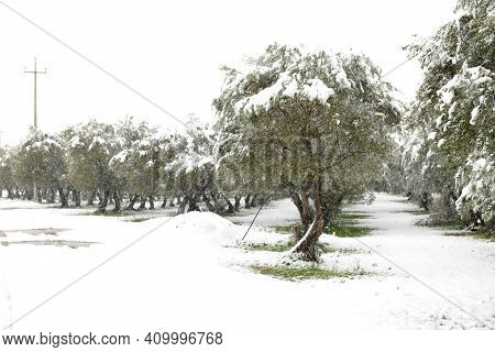 Beautiful Olive Trees In An Olive Grove In The Snow, Apulian Landscape After A Snowfall, Unusual Col