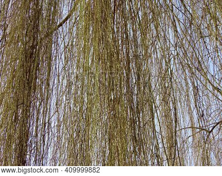 Leafless Weeping Willow Branches With First Buds Appearing In Early Spring, Close Up