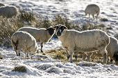 Sheep feeding in field covered in winter snow poster