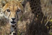 Close up detail frontal view of young cheetah walking in long dry grass towards viewer Lewa Downs Kenya East Africa poster