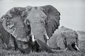 Two elephant wading in swamp one large adult female and baby close up detail monochrome front view Amboseli Kenya East Africa poster