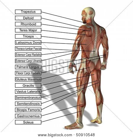 High resolution concept or conceptual 3D human anatomy and muscle isolated on white background as a metaphor to body,tendon,spine,fit,builder,strong,biological,skinless,shape,posture,health or medical poster