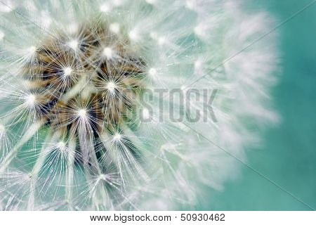 Dandelion Fluffy Seeds Over Blue