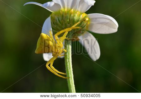Goldenrod crab spider Misumena Vatia waiting for prey in ambush on chamomile flower poster