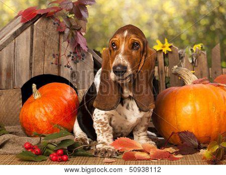 Basset Hound and pumpkin
