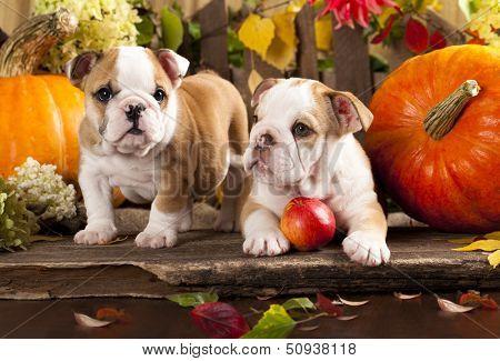 English bulldogs and a pumpkin