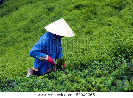 Worker pick tea leaves