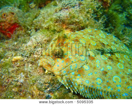 Peacock Flounder On The Rocks