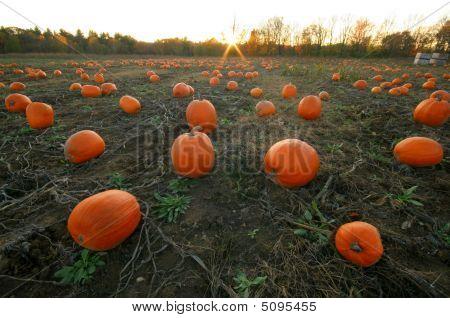 Pumpkin Patch Nh