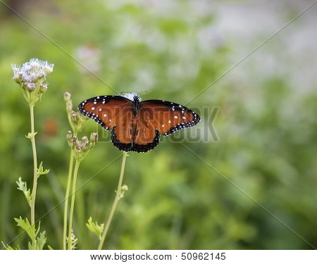 Beautiful Monarch Butterfly On A Blue Mist Flower With Wings Fully Spread