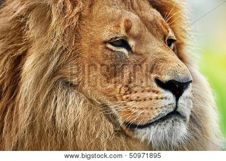 Lion portrait on savanna, safari. Big adult lion with rich mane.