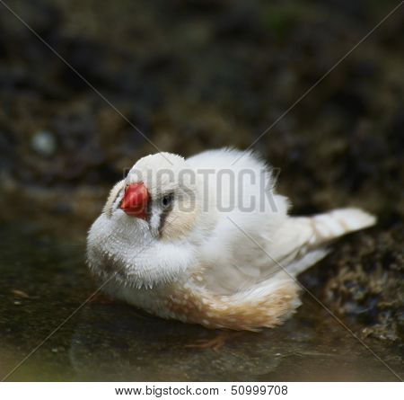 Zebra Finch Taking A Bath ,Close Up