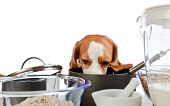 Nice beagle behind a kitchen table on white background poster
