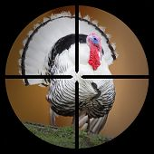 A Turkey in the Hunter's scope.  poster