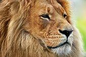 Lion portrait on savanna, safari. Big adult lion with rich mane. poster