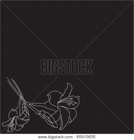 two lilies on a black background
