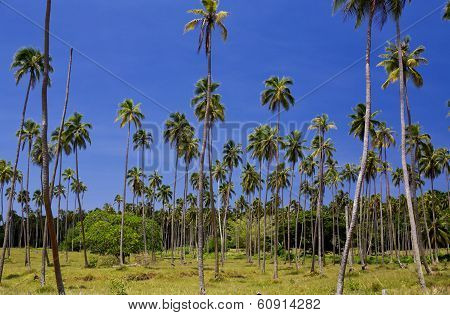 Palm tree plantation in the South Pacific
