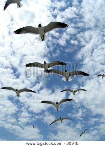 Seagulls In Flight 6