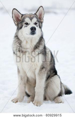 Alaskan Malamute Looking Into The Distance
