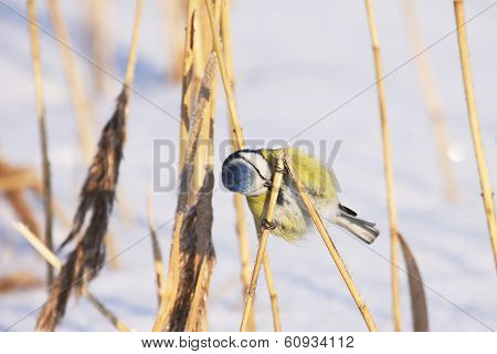 Blue Tit Searching Food