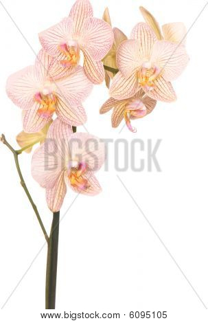 orchid of falinopsis