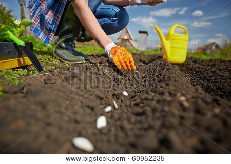 Image of female farmer sowing seed of squash in the garden