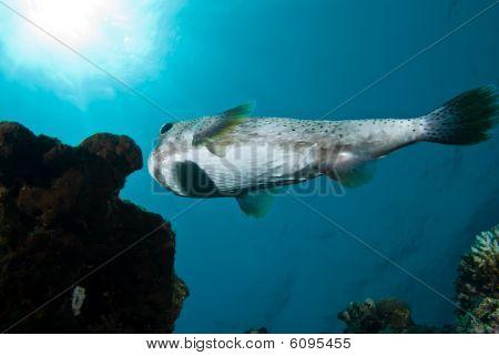 Porcupinefish (diodon Hystrix)
