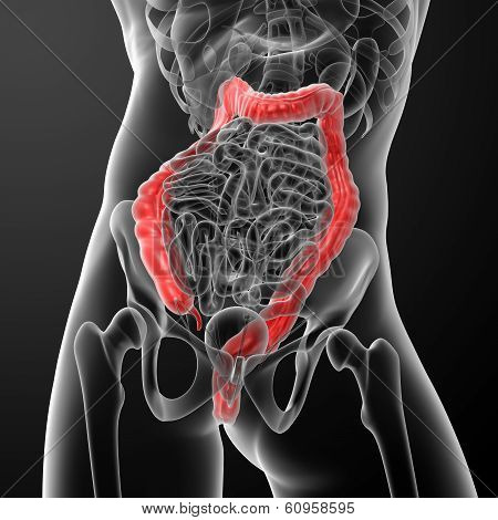 Human digestive system large intestine red colored - close-up poster