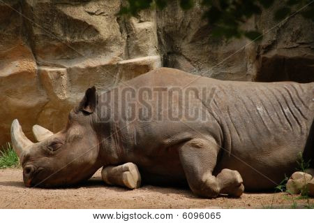 Sleeping Rhinoceros