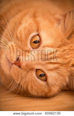 Cat Looking At Camera, close-up.
