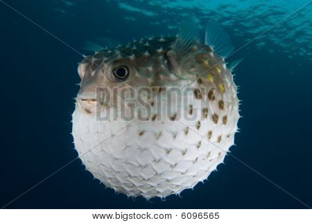 A Puffed Up Porcupinefish (diodon Hystrix)