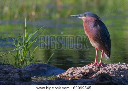 Green Heron (butorides Virescens Virescens) In Soft Focus