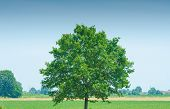 Lonely tree on bright summer day poster
