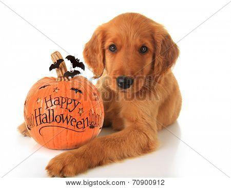 Cute Halloween puppy with a pumpkin.