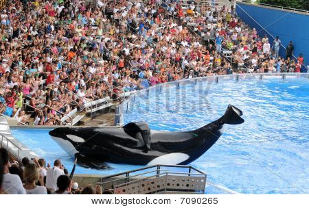 Killer Whale At Sea World Orlando