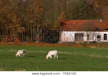 old farm,cattle in front