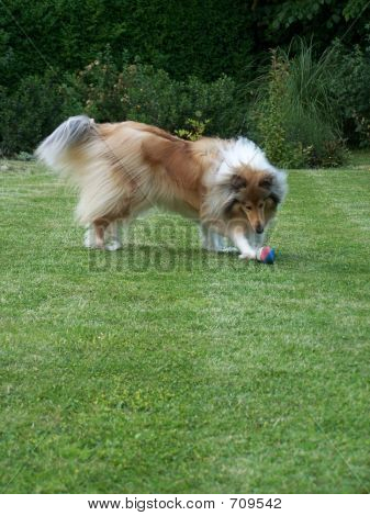 Rough Collie At Play