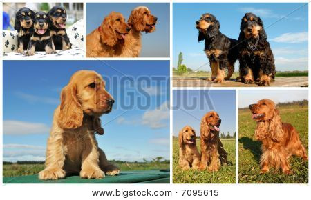 composite picture with purebred dogs and puppies cocker spaniel poster