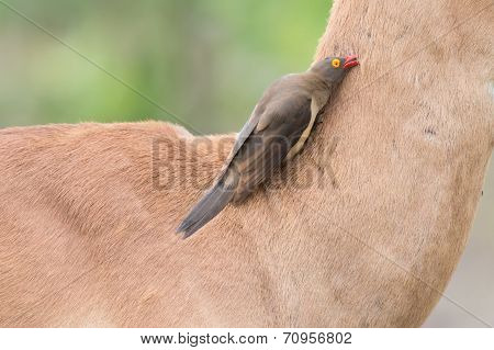 Red billed oxpecker looking for ticks on the neck of an impala poster