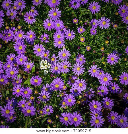 Blooming Alpine Asters - Aster Alpinus